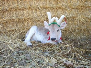 Brown Swiss Reindeer