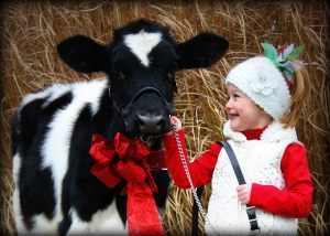Christmas with a Holstein